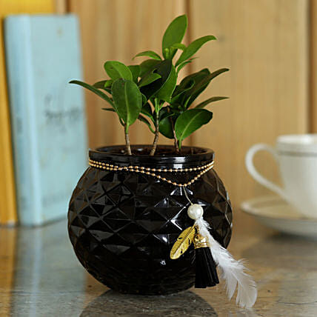 Ficus Compacta Plant in Glass Pot:Glass Planters