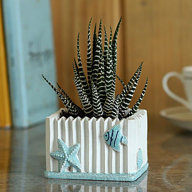 Haworthia Zebra Plant in Pot