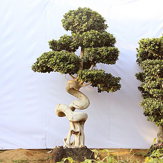 Dragon Roots Ficus Bonsai Plant