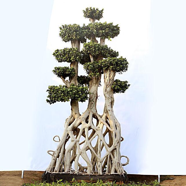 Net Shaped Ficus Bonsai Gift Mini Outdoor Bonsai Tree Online Ferns N Petals