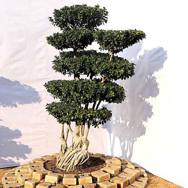 Air Roots Ficus Bonsai Plant