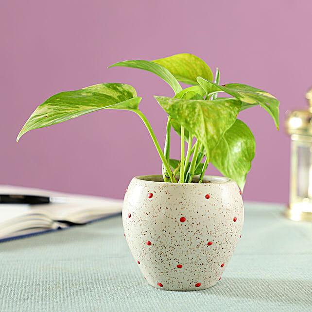 good luck plant for home décor:Money Plants