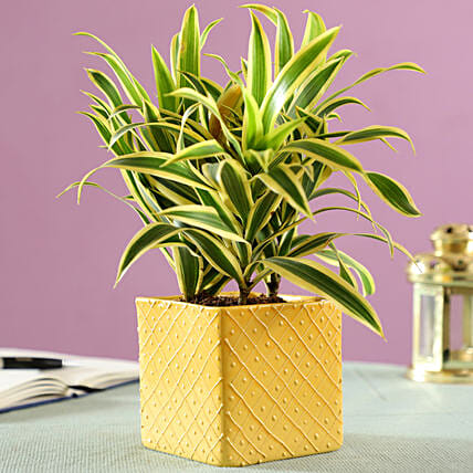 Song Of India In Yellow Ceramic Pot Gift Decorative Indoor Plant With Pot Ferns N Petals