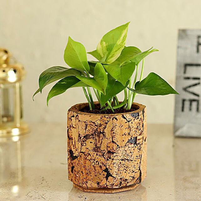 Money Plant In Pot Online