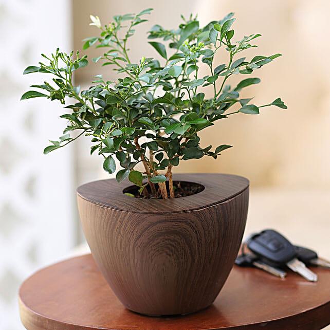 Online Murraya Plant:Flowering Plants