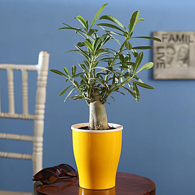 Online Adenium Desert Rose:Bonsai Plants