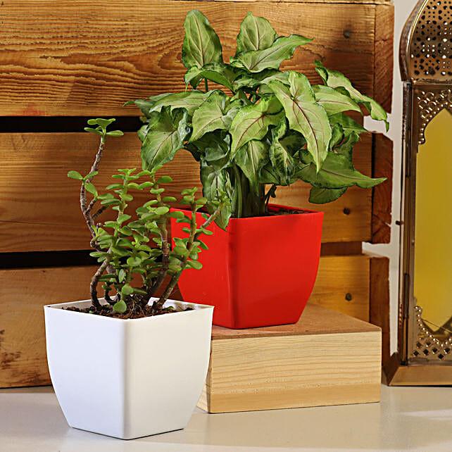 Jade Syngonium Plant Set