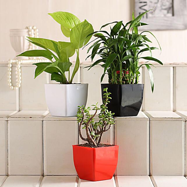 Money Bamboo Jade Plant Set