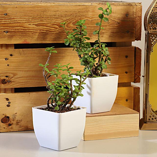 Set Of 2 Jade Plants in White Pot