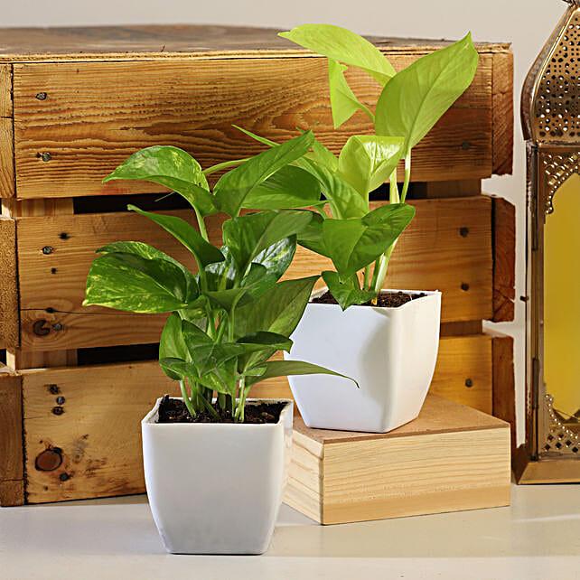 Set Of 2 Money Plants Online