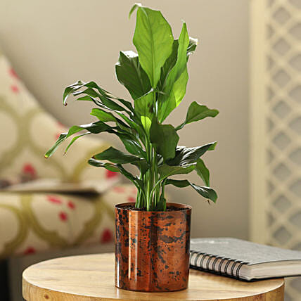 indoor lily plant