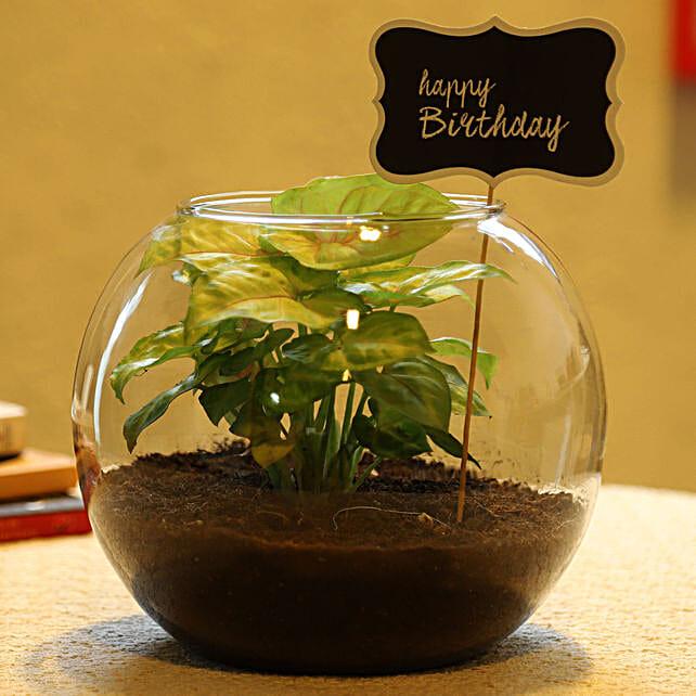 syngonium plant online:Buy Air Purifying Plants