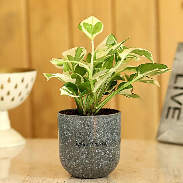 Pothos Plant In Artistic Melamine Pot