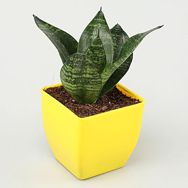 Sansevieria Plant In Yellow Pot