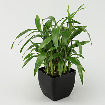 2 layer bamboo in black pot online
