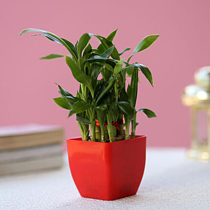 bamboo in red planter