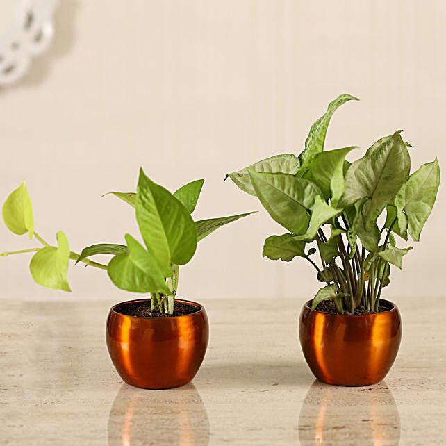 Online Golden Money Plant & Potted Syngonium Combo