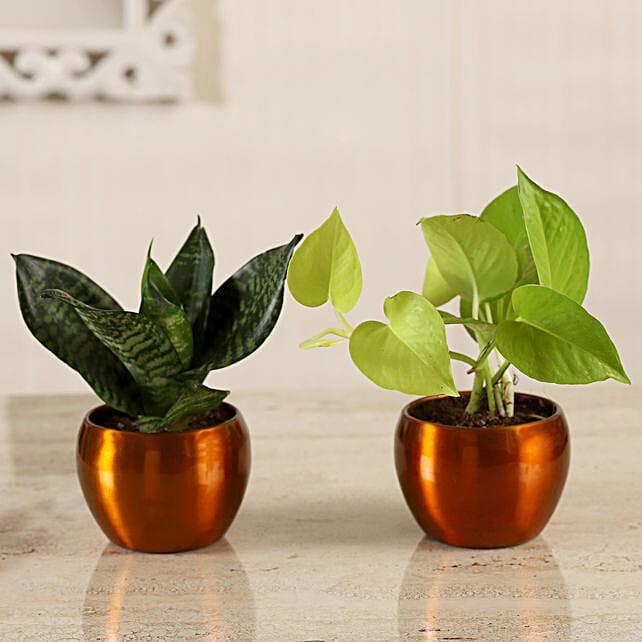 Online Money Plant & Green Sansevieria Combo:Metal Planters