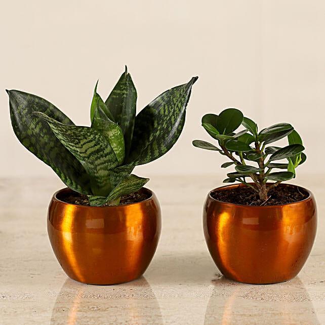Online Snakeskin Sansevieria & Ficus Compacta Plant Combo