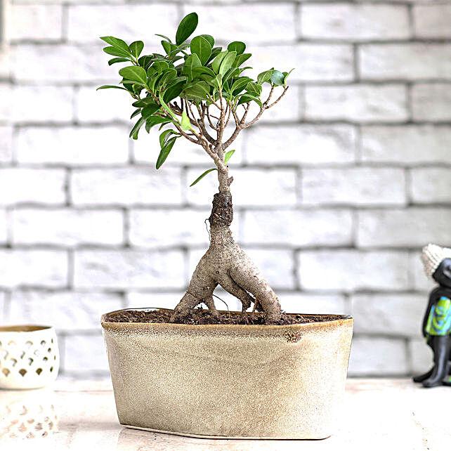 Online Ficus Bonsai Plant with Ceramic Pot:Bonsai Plants