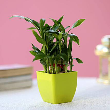 Buy/Send Two Layer Lucky Bamboo In Green Melamine Pot Online- Ferns N Petals