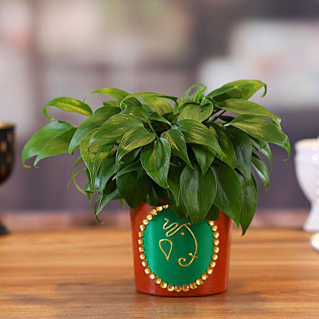 Oxycardium Plant in Green Terracotta Pot