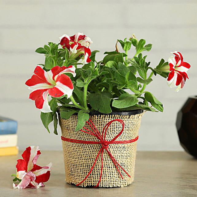 Sweet Petunia Plant