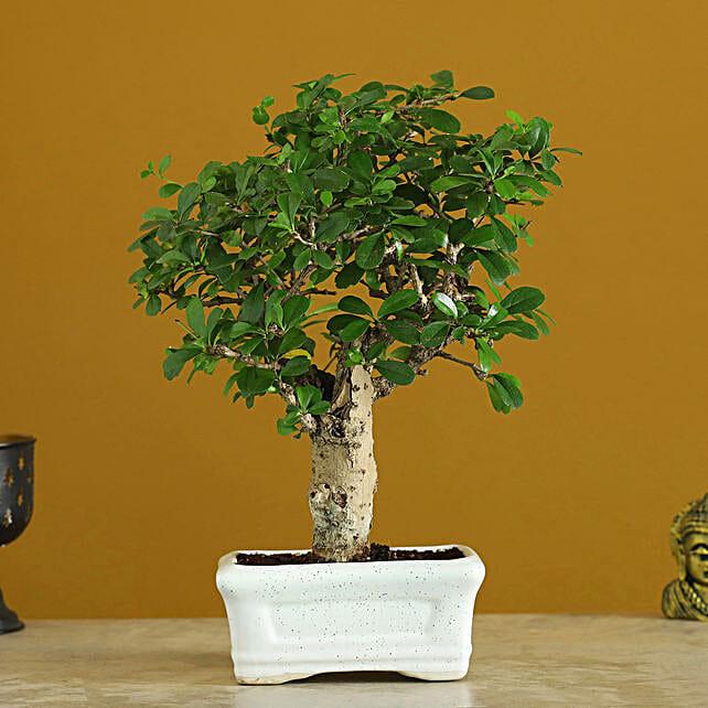 Carmona Bonsai In Ceramic Tray:Bonsai Tree