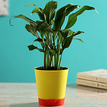 Peace Lily Plant In Self Watering Yellow Pot Hand Delivery