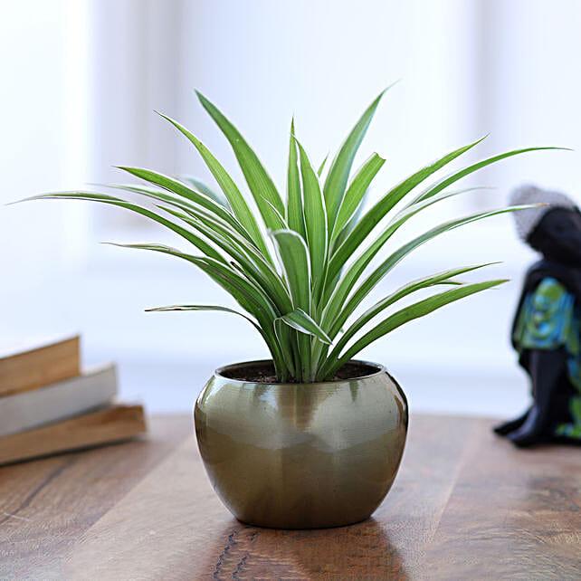 airpurifying plants in metal pot online:Flowering Plants