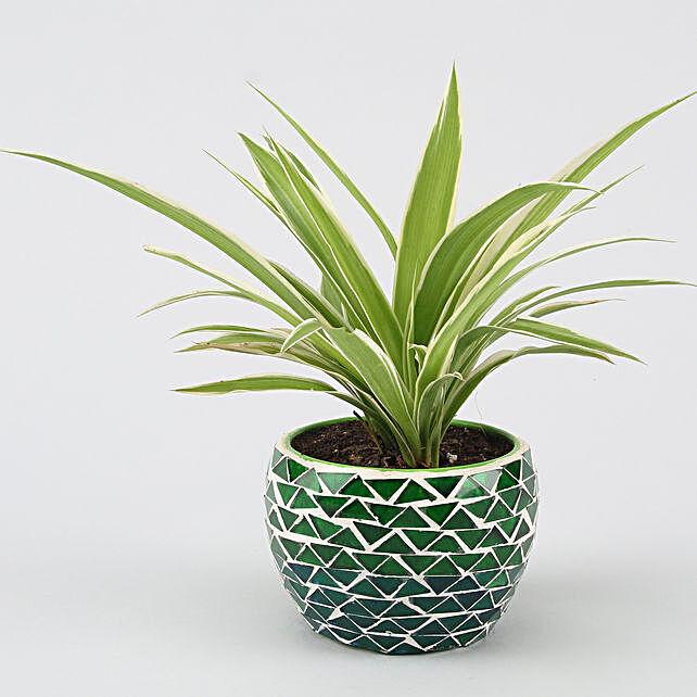 spider plant in designer metal pot online