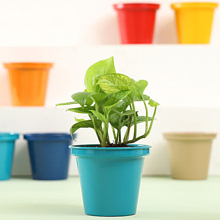 Colourful Pot Plant for Home
