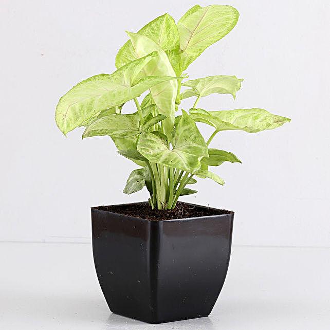 Air Purifying Syngonium Plant In Black Pot
