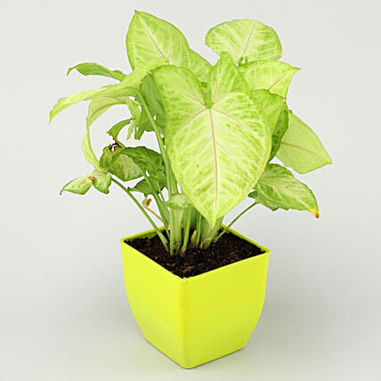 Air Purifying Syngonium Plant In Green Pot:Buy Air Purifying Plants