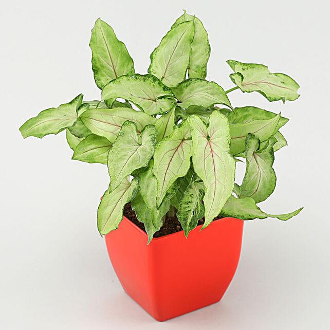 Arrowhead Syngonium In Red Pot