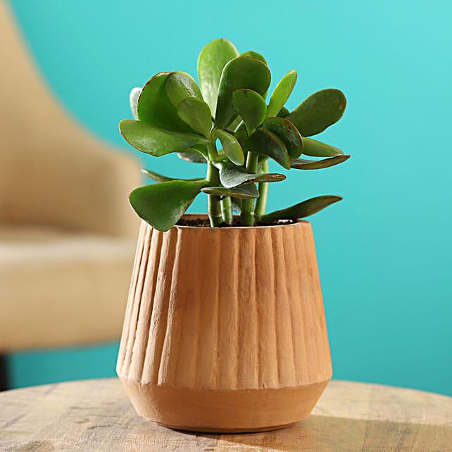 Crasula Plant In Harla Terracotta Pot