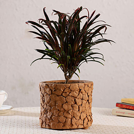 Dracaena Red Plant In Patch Design Terracotta Pot