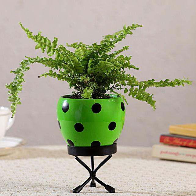 Boston Fern Plant In Polka Dot Green Pot