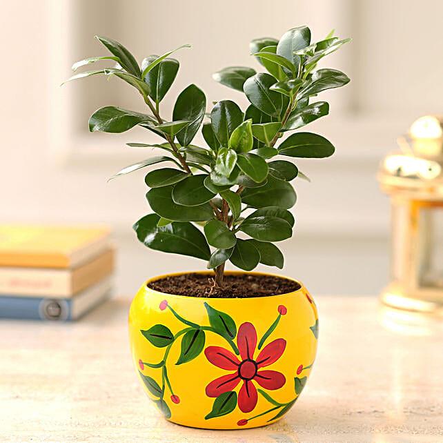 Order Ficus Compacta Plant:Premium Plants