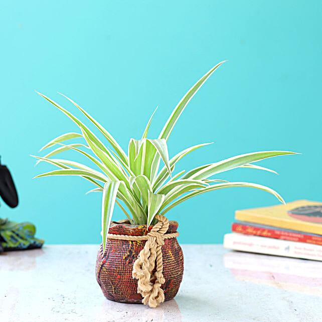 spider plant in resin pot online