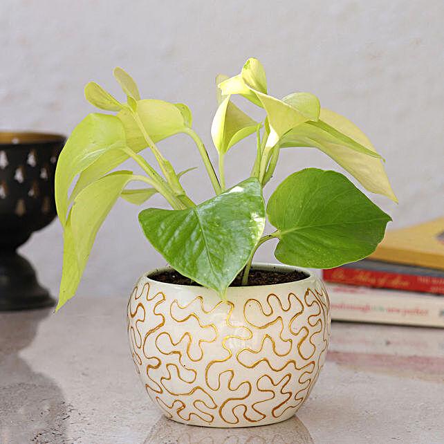 Golden Money Plant in Home Décor Pot