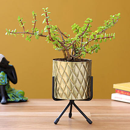Jade Plant in Home Décor Pot