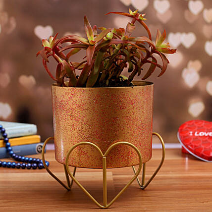 Campfire Red Succulent Plant In Gold Finish Pot:Succulents and Cactus Plants