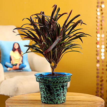 Red Dracena Plant In Blue Hand Printed Pot