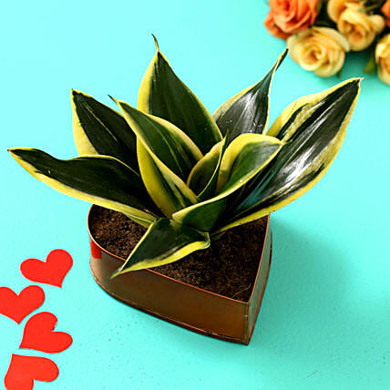 Sansevieria Milt Plant In Orange Heart Pot