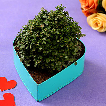 Table Kamini Plant In Sky Blue Heart Pot