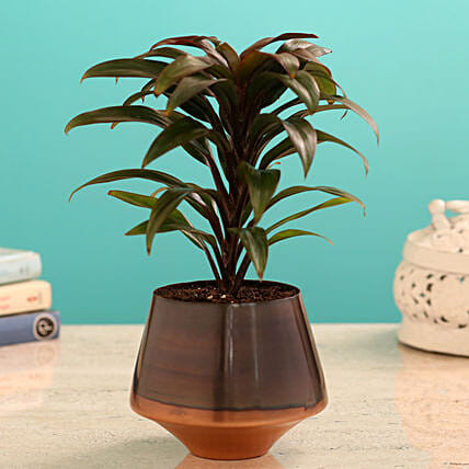 Baby Plant In Stylish Taper Pot