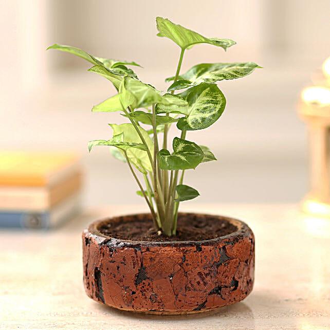 Syngonium Plant In Round Cork Planter