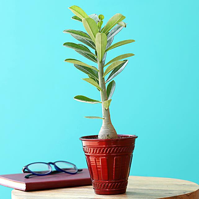 Adenium Desert Rose Plant In Red Iron Embossed Pot