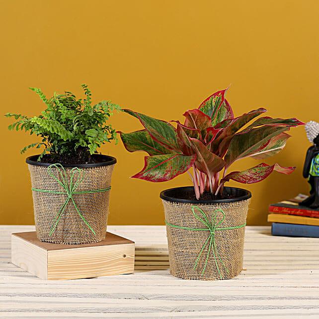Fern Aglaonema Plants In Black Plastic Pots Hand Delivery